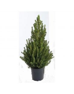 Hm Conica - Kerstboom - 80 cm Roze