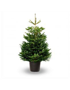 Hm Nordmann In Pot - Kerstboom - 150-175 cm Wit