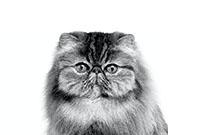 Royal Canin Perzische kat