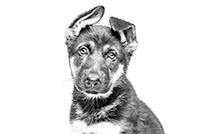 royal canin puppy duitse herder