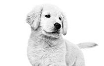 royal canin puppy golden retriever