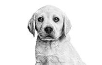 royal vanin puppy labrador retriever