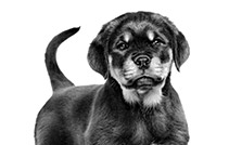 royal canin puppy rottwiler